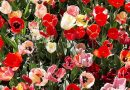 I tulipani in fiore