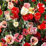Come è possibile ammirare i tulipani in fiore del Roma Flowers Park