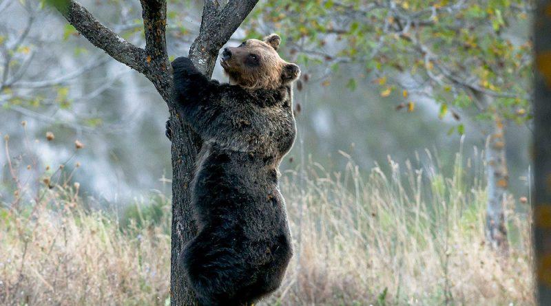l'orso marsicano