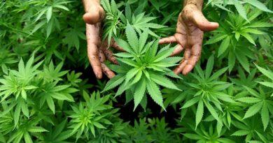 Coltivare piante di marijuana
