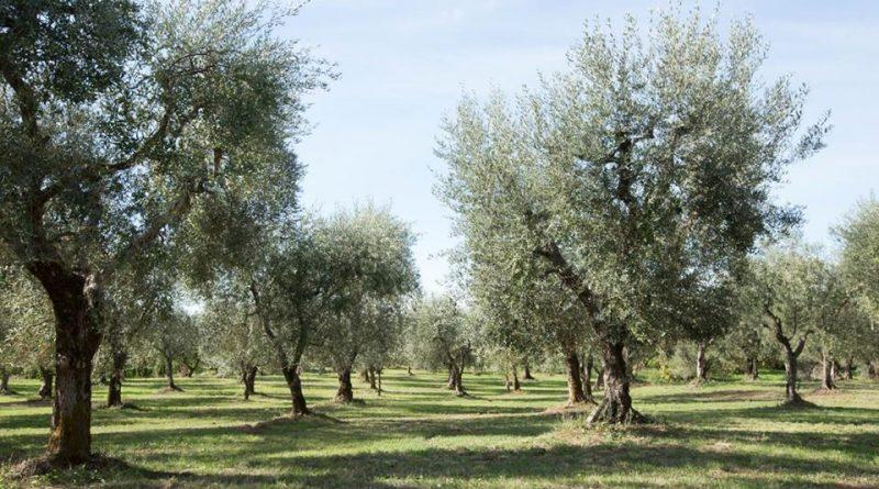 l'Olio di Cori - Oliveto Molino 7cento